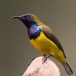 staalborsthoningzuiger-olive-backed-sunbird-16