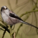 staartmees-long-tailed-tit-01