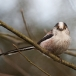 staartmees-long-tailed-tit-04