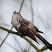 staartmees-long-tailed-tit-05