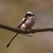 staartmees-long-tailed-tit-07