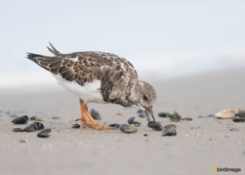 Steenloper - Ruddy Turnstone 06