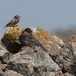 steenuil-little-owl-03