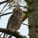 steenuil-little-owl-05