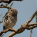 steenuil-little-owl-07