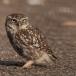 steenuil-little-owl-13