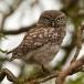 steenuil-little-owl-14
