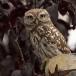steenuil-little-owl-15