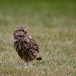 steenuil-little-owl-21