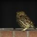 steenuil-little-owl-24