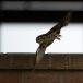 steenuil-little-owl-25
