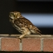 steenuil-little-owl-26