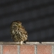 steenuil-little-owl-28
