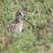 Stekelstaartsnip-Pin-tailed-snipe-01