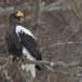 Stelllers zeearend -  Stellers sea eagle 01