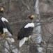Stelllers zeearend -  Stellers sea eagle 03