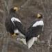Stelllers zeearend -  Stellers sea eagle 04