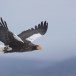 Stelllers zeearend -  Stellers sea eagle 09