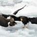 Stelllers zeearend -  Stellers sea eagle 13