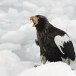 Stelllers zeearend -  Stellers sea eagle 14