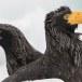 Stelllers zeearend -  Stellers sea eagle 20