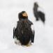 Stelllers zeearend -  Stellers sea eagle 21
