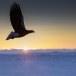 Stelllers zeearend -  Stellers sea eagle 26