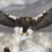 Stelllers zeearend -  Stellers sea eagle 30