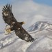 Stelllers zeearend -  Stellers sea eagle 33