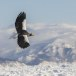 Stelllers zeearend -  Stellers sea eagle 34