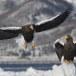 Stelllers zeearend -  Stellers sea eagle 35