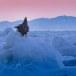 Stelllers zeearend -  Stellers sea eagle 39