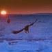 Stelllers zeearend -  Stellers sea eagle 41
