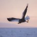 Stelllers zeearend -  Stellers sea eagle 44