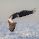 Stelllers zeearend -  Stellers sea eagle 45