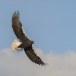 Stelllers zeearend -  Stellers sea eagle 47