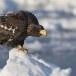 Stelllers zeearend -  Stellers sea eagle 48