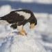 Stelllers zeearend -  Stellers sea eagle 49