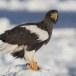 Stelllers zeearend -  Stellers sea eagle 50