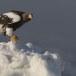 Stelllers zeearend -  Stellers sea eagle 52