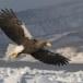 Stelllers zeearend -  Stellers sea eagle 54
