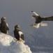 Stelllers zeearend -  Stellers sea eagle 56
