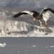Stelllers zeearend -  Stellers sea eagle 57
