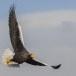 Stelllers zeearend -  Stellers sea eagle 58