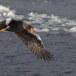 Stelllers zeearend -  Stellers sea eagle 59