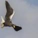 Stelllers zeearend -  Stellers sea eagle 60
