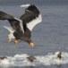 Stelllers zeearend -  Stellers sea eagle 61