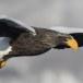 Stelllers zeearend -  Stellers sea eagle 63