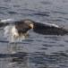 Stelllers zeearend -  Stellers sea eagle 64