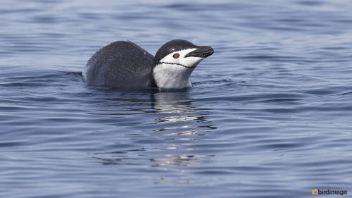 Kinbandpinguin_Chinstrap penguin 13